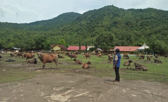 Puluhan sapi milik warga Desa Sie yang selamat dari terjangan banjir. (Akbar/Ntb News)